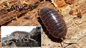 tesbih böceği, tesbih böceği ilçalaması